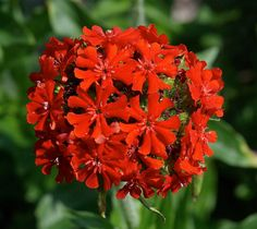 Lychnis (Lychnis Chalcedonica) also known as Maltese Cross or Jerusalem Cross-Hummingbirds cannot leave the blooms alone! 5 Grams-Approximately : 11,000 Seeds Approximately Seeds Per Oz: 62,000 Lychni