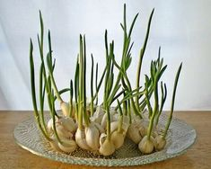 Cultivar ajos When garlic begins to sprout, you can put them in a glass with a little water and grow garlic sprouts. The sprouts have a mild flavor than garlic and can be added to salads, pasta and other dishes Vegetable Garden, Garden Plants, House Plants, Herb Garden, Regrow Vegetables, Growing Vegetables, Growing Plants, Regrow Celery, Container Gardening