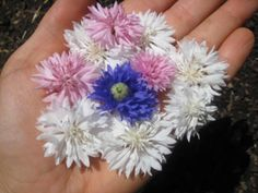sweet reminders for NEW YEAR 2013! I eat flowers, do you? These bachelor buttons are edible. Flowers preserve femininity. Planted w/ fairy dust... http://ediblegoddess.com/2012/02/must-know-steps-growing-food/  via @Katy Phillips Goddess #raw #organic #vegan #nutrition #health #healthyliving #rawfood