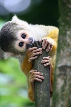 Top 5 Cute And Cuddly Exotic Pets - Squirrel Monkey: Top 5 Cute And Cuddly Exotic Pets Primates, Cute Baby Animals, Animals And Pets, Funny Animals, Monkey See Monkey Do, Monkey Meat, Monkey Baby, Types Of Monkeys, Little Monkeys