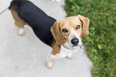 Beagle dog for Adoption in St. Louis Park, MN. ADN-595807 on PuppyFinder.com Gender: Female. Age: Adult