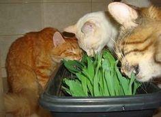 Dicas para gateiros: Graminha para gato - como plantar