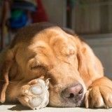 De combien d'heures de sommeil mon chien a-t-il besoin ? Education Canine, Animals And Pets, Labrador, Beagles, Dogs, The Hours, Bees, Doggies, Beagle