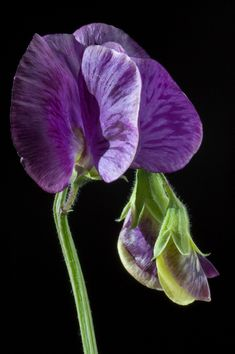 Sweet Pea | Continuing the quest to get photos of sweet peas… | Flickr