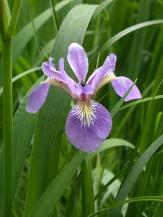 Native to Pennsylvania. Likes wet/moist soil Iris versicolor (Northern Blue Flag Iris)