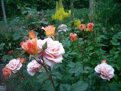 FLORI DIN GRADINA MEA Garden, Plants, Garten, Lawn And Garden, Gardens, Plant, Gardening, Outdoor, Yard