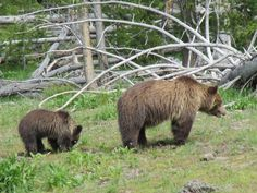 Grizzly bear and cub in Yellowstone National Park