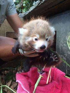 Endangered Red Panda Cubs Are a Living Legacy
