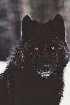 """Black Wolf"" by Gaston Maqueda Photography 