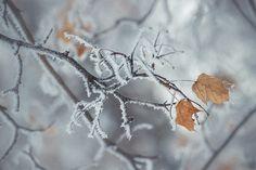 ___ Двое... ___  / #photo #фото #nature #природа #winter #зима #frost #иней #maple #клен #leaves #листья #cold #холодно #hoarfrost #изморозь #wintertime #grey #серый /