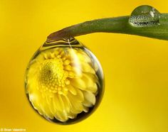 A drop of magic: Amazing pictures of flowers captured in a drop of rain
