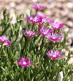 Hardy Ice Plant. Have in the front flower bed Blooms spring - fall.