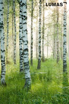 Home Office Setup, Office Wall Decor, Office Walls, Birch Tree Mural, Birch Trees, Office Images, Birch Forest, Landscape Pictures, Hanging Art