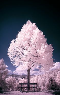 Surrealism Photography by Gerald Reisinger Cherry Blossom Tree, Blossom Trees, Cherry Tree, Blossoms, Surrealism Photography, Nature Photography, Tout Rose, Pink Forest, Infrared Photography