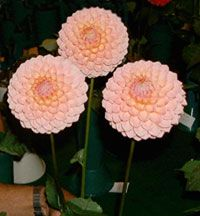 Good tips on planting dahlia bulbs and disbudding.