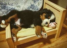 Most recent Free great bernese mountain dogs Popular : Your Bernese Pile Pet dog is actually a preferred massive pet dog breed. The idea is just about the some dog breeds of which range from Sennenhund-typ. Cute Dogs And Puppies, I Love Dogs, Pet Dogs, Dog Cat, Doggies, Cute Baby Animals, Animals And Pets, Funny Animals, Bernese Mountain