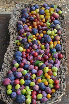 Summer harvest of plums - Isabella dalla Ragione