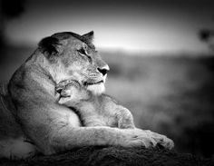 lioness and her baby