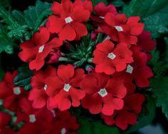 Plantas que aguantan sol y sequía: Flor de la verbena (existen cientos de variedades)