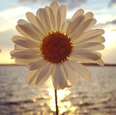 Daisy, just beautiful, one single daisy held up to the sunlight reflecting over the water at sunset,