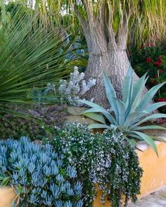 blue-gray plants by tree trunkThis soothing display of blue-gray includes a spiny desert spoon (Dasylirion spp.), blue chalksticks, rosemary, and blue agave at the base of a ponytail palm (Beaucarnea spp. Growing Succulents, Cacti And Succulents, Planting Succulents, Succulent Names, Succulent Planters, Succulent Arrangements, Hanging Planters, Cactus Plants, Succulent Landscaping