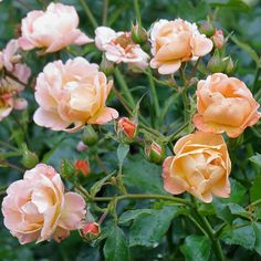 Glorious Groundcover Roses. This disease-resistant shrub rose is easy to grow and maintain in the landscape. The coral buds of Flower Carpet Amber rose open to rich tones of apricot, gold, and pink and bloom throughout the summer.