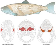 """""""How Tunas and Lamnid Sharks Swim: An Evolutionary Convergence""""  These fishes diverged millions of years ago, but selection pressures have brought them very similar biomechanical schemes for movement.  Read More: http://www.americanscientist.org/issues/feature/how-tunas-and-lamnid-sharks-swim-an-evolutionary-convergence  Nov. & Dec. 2005, illustrated by Barbara Aulicino  #fish #tuna #swim #evolution #science"""
