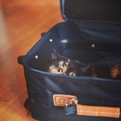 Pudge the cat peeking out from a suitcase. I do believe my cat, Mystic, learned this from Pudge! Crazy Cat Lady, Crazy Cats, Cute Funny Animals, Cute Cats, Cat Attack, Exotic Cats, Exotic Shorthair, Cat Bag, Lovely Creatures