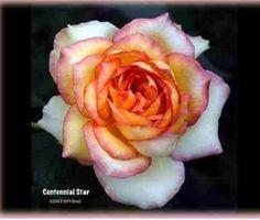 Centennial star rose