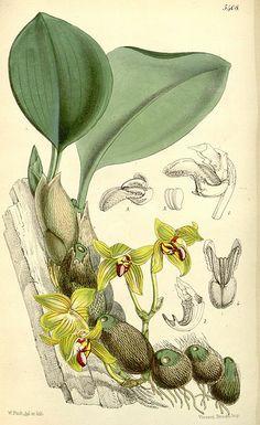 Bulbophyllum psittacoglossum