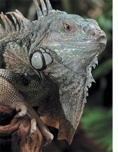 How to Create the Ideal Iguana Habitat