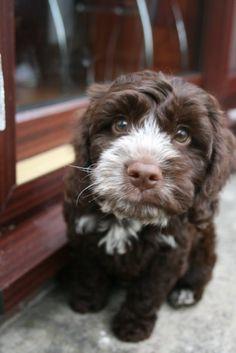 Rio my little Cockerpoo puppy