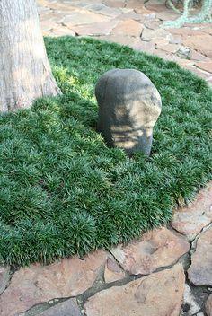 Mondo grass is a sod-forming perennial that serves as a hardy and attractive gro. Mondo Gras ist eine grasbewachsene Staude, die als robuste und Low Maintenance Landscaping, Low Maintenance Garden, Dwarf Mondo Grass, Black Mondo Grass, Black Grass, Landscape Design, Garden Design, Monkey Grass, Evergreen Landscape