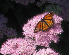 Home    Migrating Butterfly--Central Illinois | Thru My Eyes
