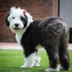 Old English Sheepdog English Sheepdog Puppy, English Dogs, Sheep Dog Puppy, Dog Cat, I Love Dogs, Cute Dogs, Animals Beautiful, Cute Animals, Puppy List