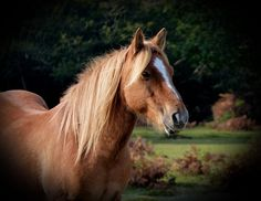 New Forest Pony by smiley117/ mary, via Flickr