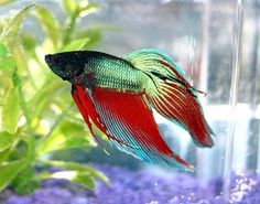 How to Clean a Japanese Fighting Fish's Fish Bowl.     Bettas shouldn't be in a bowl