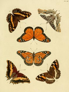 d. 1 (1779) - Aanhangsel van het werk, De uitlandsche kapellen : -Exotic Butterflies - Smithsonian Libraries via BHL