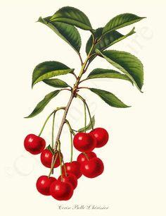 Vintage fruit art: Cherries Cerise Belle L'herissier Fruit Art Print Illustration, $19.95
