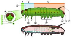 Gąsienica (larwa) – Wikipedia, wolna encyklopedia