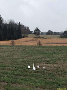 Four swans and a crane. Ramskullantie 29.10.20