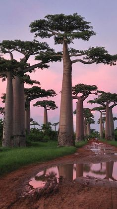 Sunset in the Baobab Avenue in the Baobab Avenue Morondava - Madagascar. Here you relax with these backyard landscaping ideas and landscape design. Le Baobab, Baobab Tree, Mother Earth, Mother Nature, Nature Nature, Beautiful World, Beautiful Places, Amazing Places, Beautiful Pictures