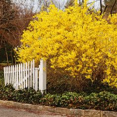 Forsythia is a sunny harbinger of spring. Border forsythia is an upright, arching deciduous shrub that offers its bright yellow flowers in early spring. Some branches arch, while others shoot upwards. Use in an informal hedge or as a specimen in a border.