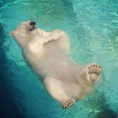When polar bears are in a good mood, they like to float on the surface of water pic.twitter.com/zehIxJXEuz