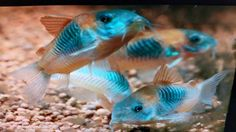 Corydoras Venezuela - Zoet water aquarium bodemvissen.