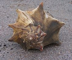 large shoulder spines of a Knobbed Whelk Busycon carica var. eliceans, Sunset Beach, North Carolina