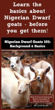 Learn the basics about owning and caring for Nigerian Dwarf goats (and whether they are right for you) by reading this short introduction, available for just $4.99. Keeping Goats, Raising Goats, Raising Rabbits, Bee Keeping, Backyard Farming, Chickens Backyard, Female Goat, Goat Care, Nigerian Dwarf Goats