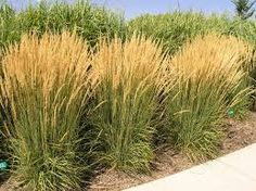 Calamagrostis Karl Foerster (Feather Reed Grass) Create a stunning vertical effect with feathery stalks that emerge reddish-brown in spring and turn golden in fall. Blooms two to three weeks earlier than common feather reed grass.
