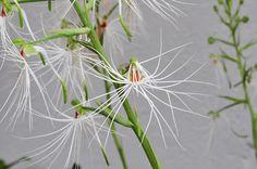 Orchid: Habenaria medusae - Flickr - Photo Sharing!