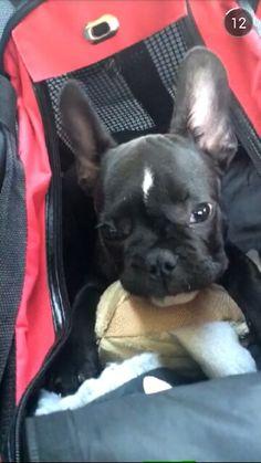 Franse bulldog (-> zwart met paar witte vlekken -> teefje)